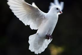 dove symbolism and dove meanings
