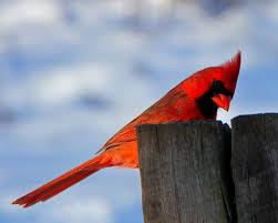 free stock photo of bird cardinal male cardinal