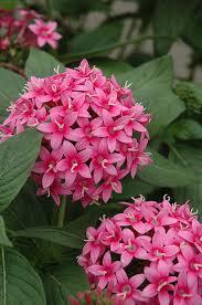 pentas flower starburst flower pentas lanceolata starburst in saskatoon