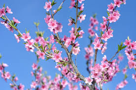 tree with pink flowers types of flowering plum trees and useful tips for their care