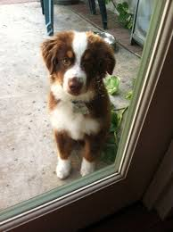 australian shepherd puppies 7 weeks best 25 mini aussie shepherd ideas on pinterest mini aussie