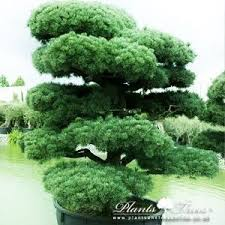 19 best bonsai images on bonsai trees plants and