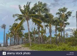 Trees Worldwide Coconut Trees At The Dili Jan 2 2017 Usage Worldwide