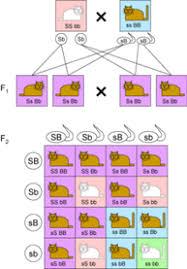 Dihybrid Cross Punnett Square Worksheet Lesson 5 Dihybrid Crosses And Mendel S Second Of Inheritance