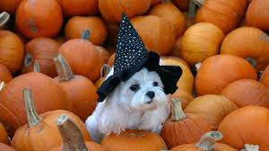 halloween background for windows simplywallpapers com im a sweet witch orange hat black dogs