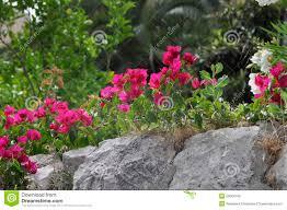 bougainvillea beautiful flower in garden stones stock photo
