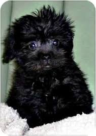 affenpinscher dogs for sale pooh bear adoption pending adopted puppy seymour mo