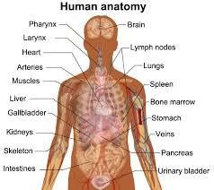 Human Anatomy Diagram Download Major Organs Of The Human Body Diagram Anatomy Chart Body