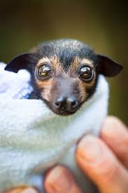 spectacled flying fox orphans receive special care zooborns