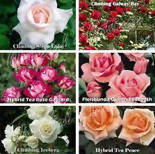 Fragrant Climbing Plant - roses ebay