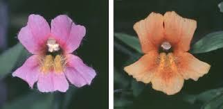 monkey flowers petal power in monkeyflowers