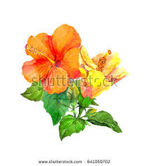 Yellow Hibiscus Flowers - yellow hibiscus flower watercolor stock illustration 447509320