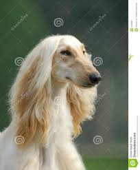 afghan hound dog pets afghan hound royalty free stock photography image 7684997