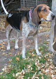 is a bluetick coonhound a good pet here are 3 great coon hunting hounds