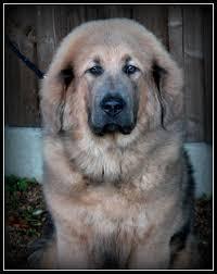 belgian shepherd x alaskan malamute alaskan malamute pictures posters news and videos on your