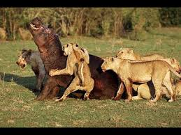 imagenes de leones salvajes gratis leones salvajes cazando en africa documentales national geographic