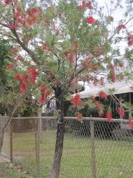 crimson bottlebrush tree