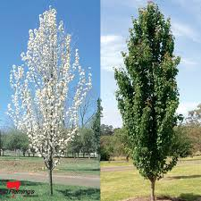 ornamental pear trees gardening guide