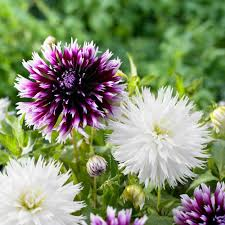 Types Of Planting Flowers - types of dahlias 8 great looks
