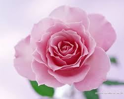 pink flower pink flower 1 flower pictures 3 beautiful blossoms blooms