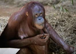 Lights At The National Zoo by Update Meet The National Zoo U0027s Latest Bouncing Baby U2014an Orangutan