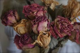 dried roses home and gardening with liz dried roses for a blue