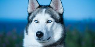 top 6 recommended foods for a and puppy siberian huskies