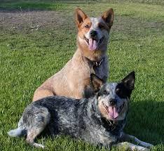 blue heeler x australian shepherd 124 best х australian cattle dog blue heeler images on