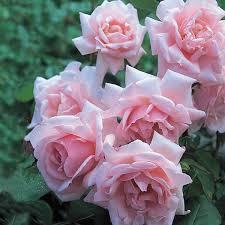 Fragrant Rose Plants - rose u0027new dawn u0027