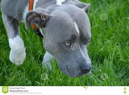 american pitbull terrier webbed feet blue and white american pitbull stock photo image 72065429