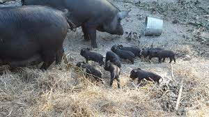 building a pig pen with hog panels j u0026j acres