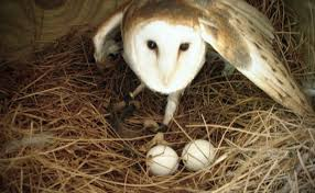 how to keep birds away from patio how to build a barn owl nest modern farmer