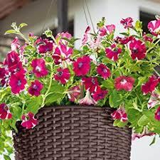 balkon grã npflanzen balkonpflanzen schley s blumenparadies