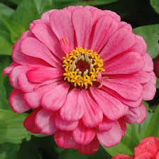 Zinnia Flowers Top 15 Most Beautiful Zinnia Flowers