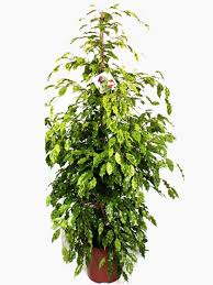 indoor ficus plants for sale online uk