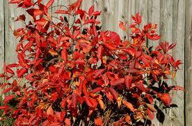 14 shrubs fall color