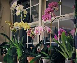orchids care carol s orchid care and maintenance tips watering your orchids
