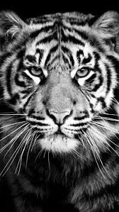 tiger black and white hd wallpapers background for iphone iphone