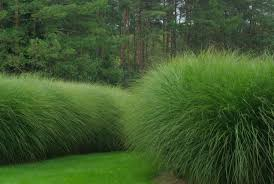 miscanthus tuin morning light grasses and