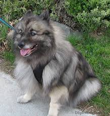 american eskimo dog vs keeshond keeshond dog breed information and pictures