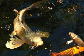 koi fish and goldfish aquarium recipeapart