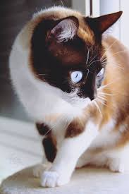 48 best cats curly haired images on pinterest selkirk rex