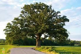 shumard oak tree on sale the planting tree
