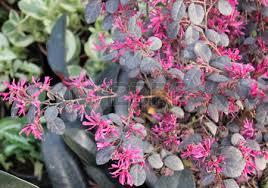 loropetalum chinense var rubrum fringe flower ornamental