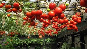hydroponic way of growing tomatoes seeds temperature