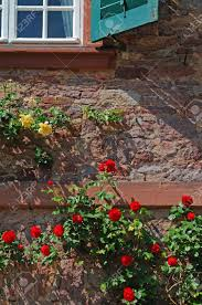 climbing roses many rose flowers in red and yellow climbing on