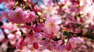cherry flowers wallpapers flower cherry blossoms flowers pink fresh nice flower wallpapers