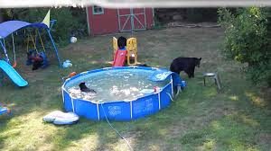 a bear family takes a dip in our pool part ii youtube