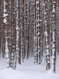 snowy tree trunks stock image image of snow winter 17991447