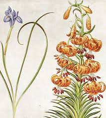 Turks Cap Sapnish Nut Sisyrinchium Minus Yellow Turk U0027s Cap Lily Lilium